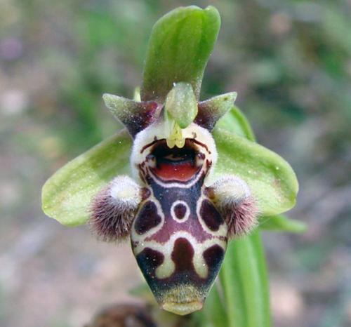 Ophrys-carmeli-ssp-attica