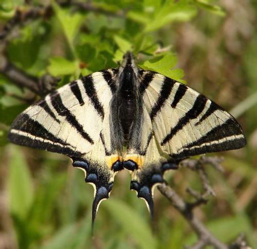 OtakScarce-Swallowtail